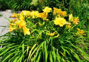 Daylily comienza a crecer - 32 mazorcas de flores - 150 flores, nunca fertilizadas
