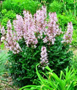 Planta de gas (Dictamnus alba) en Aspen Grove Gardens