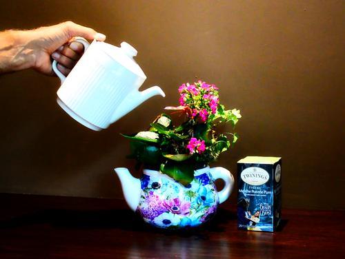 ¿Es el té un buen fertilizante para plantas de interior?