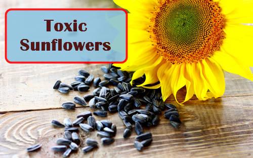 Las cáscaras de las semillas de girasol pueden dañar las plantas, ¿son alelopáticas?  Foto: torange.biz