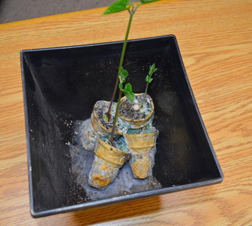 Cultivo de semillas en conos de helado - 1 semana después