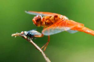 Insecto atacante libélula, foto de Kim Young