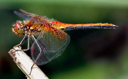 ¿Las plantas atraen libélulas a tu jardín ?, foto de André Karwath