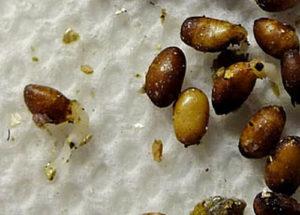 Semilla de Trillium grandiflorum comenzando a germinar, foto de BotanyCa