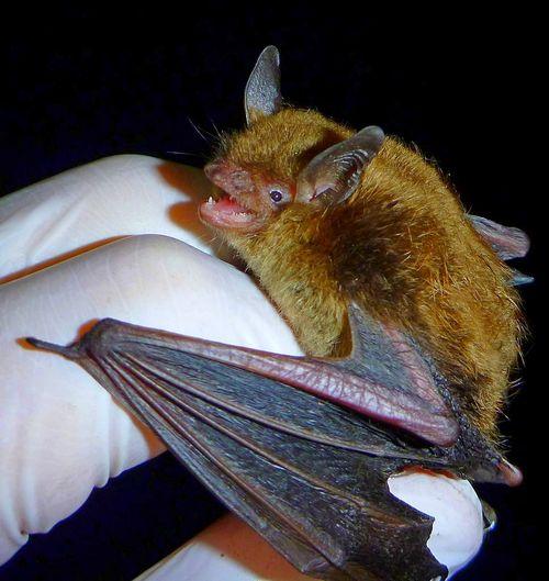 Nace un mito: los murciélagos comen mosquitos