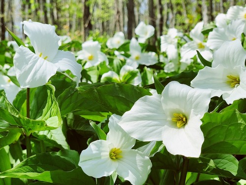 No elija la flor de Trillium y otros mitos de Trillium.  Foto de Trillium grandiflorum