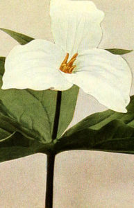 El pedicelo entre la flor y las hojas es corto.