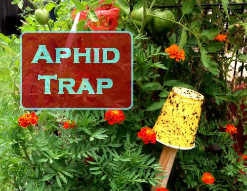 Control de áfidos - ¿Funcionan las trampas adhesivas amarillas?, Fuente de la foto: The Fervent Gardener