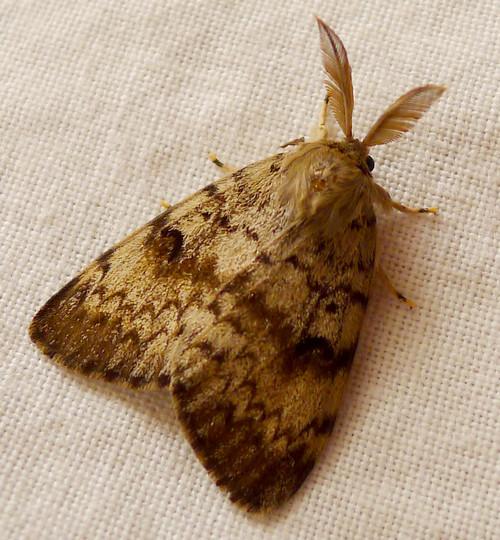 Polilla gitana macho, fuente fotográfica de gailhampshire