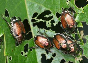 Escarabajos japoneses, fuente de la foto: Ryan Hodnett