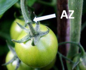 AZ visible o se une a los tomates