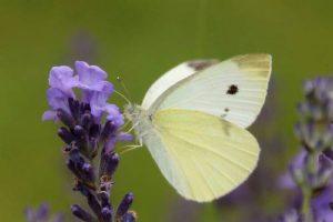 Pieris rapae (pequeña mariposa blanca o de repollo): una pequeña mariposa blanca común.