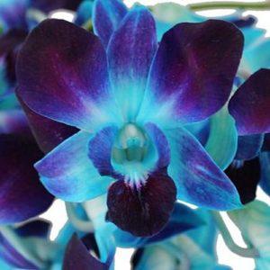 Orquídea dendrobium teñida